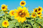 Sunflower flower with a butterfly — Stock Photo