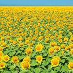 Field of yellow sunflowers — Stock Photo #48348569