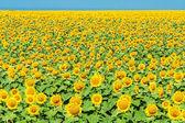 Gele zonnebloemveld — Stockfoto