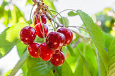 Ripe cherries on a tree branch — Stock Photo
