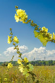Mallow flowers on a background of blue sky — Foto de Stock