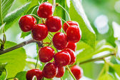 Red berries of a sweet cherry on a branch in the garden — Stock Photo