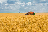 Harvesting of wheat  on the background field and blue sky — Stock Photo