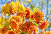 Bouquet of orange  chrysanthemums — Stock Photo