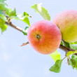 Two apples on a branch close up — Stock Photo #51408857