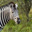 Zebra — Stock Photo #29430057