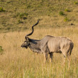 Greater Kudu - Tragelaphus strepsiceros — Stock Photo
