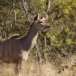 Greater Kudu cow - Tragelaphus strepsiceros — Stock Photo