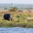 Stock Photo: Hippopotamus - Hippopotamus amphibius