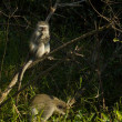 Stock Photo: Vervet monkeys - Chlorocebus pygerythrus
