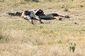 Dead girafe carcas lying in a grass land — Stock Photo