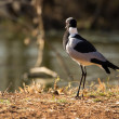 Blacksmith Lapwing or Blacksmith Plover - Vanellus armatus — Stock Photo