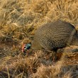 Helmeted Guineafowl - Numida meleagris — Stock Photo