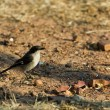 Fiscal Flycatcher - Sigelus silens — Stock Photo