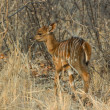 New born Nyala - Tragelaphus angasii — Stock Photo