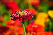 Zinnia bud in the blurry background — Stock Photo