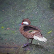 Stock Photo: Duck Teal