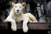 White lion — Stock Photo