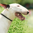 Pit Bull Terrier portrait on the green grass — Stock Photo #29545685