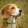 Stock Photo: Beagle hunter dog lies quietly in grass