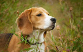 Beagle hunter dog lies quietly in the grass — Stock Photo