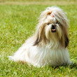 Shih Tzu Dog outdoor portrait — Stock Photo #32991677
