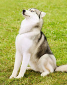 Alaskan Malamute outdoor portrait — Stock Photo