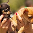 Chihuahua puppies close up portrait — Stock Photo #33025489