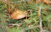 Suillus is a genus of basidiomycete fungi in the family Suillace — Stock Photo