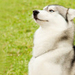 Alaskan Malamute outdoor portrait — Stock Photo