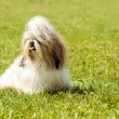 Stock Photo: Shih Tzu Dog portrait