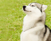 Alaskan Malamute outdoor portrait — Foto Stock