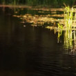 Reeds in small river — Stok video