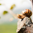 Snail climbs to the top of the branches — Stock Photo