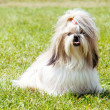Shih Tzu Dog outdoor portrait — Stock Photo