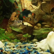 Aquarium background : Tiger barb, Ornatus, Minor tetra — Stok video