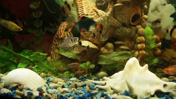 Fond de l'aquarium : barbus tigre, ornatus, tetra mineur — Vidéo