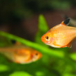 Minor tetra freshwater fish in aquarium — 图库照片