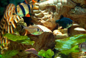 Tiger and green barbs and Hyphessobrycon bentosi bentosi freshwa — Stock Photo