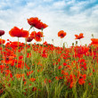 Постер, плакат: Wild Red Poppies countryside field with incredible sky
