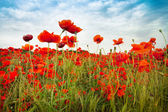 Wild Red Poppies countryside field with incredible sky — Zdjęcie stockowe