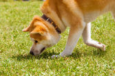 Shiba Inu spitz breeds of dog from Japan snuff the prey — Stockfoto