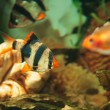 Tiger barbs and Minor tetra freshwater fish in aquarium — Foto de Stock