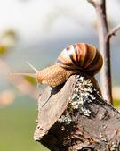 Piccola lumaca si arrampica fino alla cima dei rami — Foto Stock