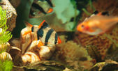 Tiger barbs and Minor tetra freshwater fish in aquarium — Stockfoto