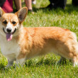 Pembroke Welsh Corgi — Stock Photo #39574195