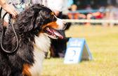 Bernese Mountain Dog - Berner Sennenhund during exhibition — Stock Photo