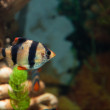 Alone Tiger barb freshwater fish in aquarium — Stock Photo #39970385