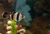 Alone Tiger barb freshwater fish in aquarium — Stok fotoğraf