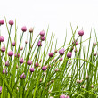 Chive Blossom Against White — Stock Photo